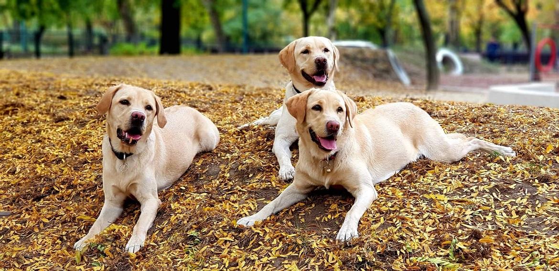 kép: Három zsemle színű Labrador retriever kutya fekszik az őszi avarban